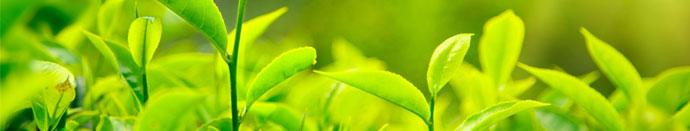 Polepšaj se s skodelico zelenega čaja